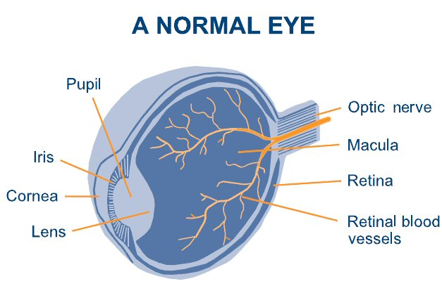 A normal eye-before Diabetes Impacts Eyes